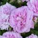 Old-fashioned-roses-GDAW100-nicola-stocken.jpg thumbnail