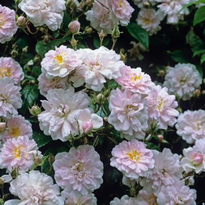 Old-fashioned-roses-ROSE270-nicola-stocken.jpg