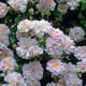 Old-fashioned-roses-ROSE270-nicola-stocken.jpg thumbnail