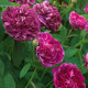 Old-fashioned-roses-ROSE356-nicola-stocken.jpg thumbnail