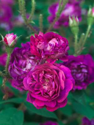 Old-fashioned-roses-ROSE360-nicola-stocken.jpg