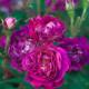Old-fashioned-roses-ROSE360-nicola-stocken.jpg thumbnail