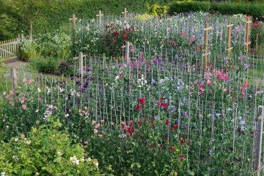 Sweet-peas-at-Easton-Walled-Garden-GEAS018-nicola-stocken.jpg