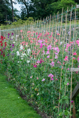Sweet-peas-at-Easton-Walled-Garden-GEAS022-nicola-stocken.jpg