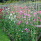 Sweet-peas-at-Easton-Walled-Garden-GEAS022-nicola-stocken.jpg thumbnail