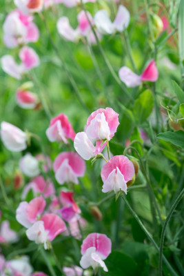 Sweet-peas-at-Easton-Walled-Garden-GEAS035-nicola-stocken.jpg