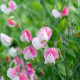 Sweet-peas-at-Easton-Walled-Garden-GEAS035-nicola-stocken.jpg thumbnail