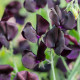 Sweet-peas-at-Easton-Walled-Garden-GEAS036-nicola-stocken.jpg thumbnail