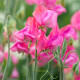 Sweet-peas-at-Easton-Walled-Garden-GEAS048-nicola-stocken.jpg thumbnail