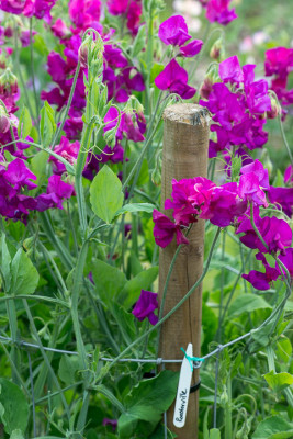 Sweet-peas-at-Easton-Walled-Garden-GEAS050-nicola-stocken.jpg