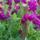 Sweet-peas-at-Easton-Walled-Garden-GEAS050-nicola-stocken.jpg thumbnail
