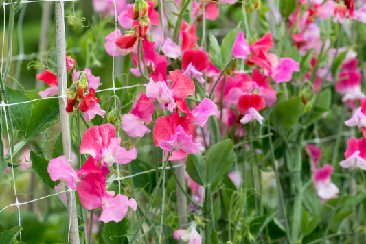 Sweet-peas-at-Easton-Walled-Garden-GEAS055-nicola-stocken.jpg