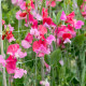 Sweet-peas-at-Easton-Walled-Garden-GEAS055-nicola-stocken.jpg thumbnail