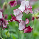Sweet-peas-at-Easton-Walled-Garden-GEAS057-nicola-stocken.jpg thumbnail