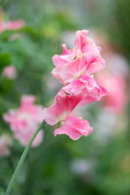 Sweet-peas-at-Easton-Walled-Garden-GEAS059-nicola-stocken.jpg