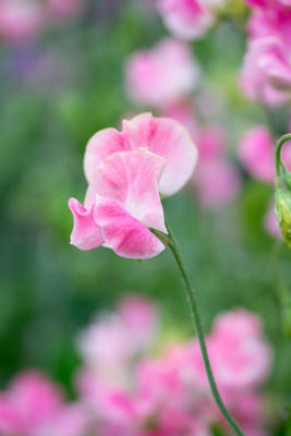 Sweet-peas-at-Easton-Walled-Garden-GEAS064-nicola-stocken.jpg