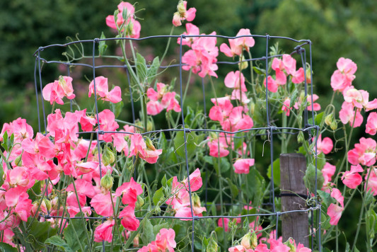 Sweet-peas-at-Easton-Walled-Garden-GEAS080-nicola-stocken.jpg