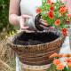 Planting-a-Summer-Hanging-Basket-QHAA153-nicola-stocken.jpg thumbnail