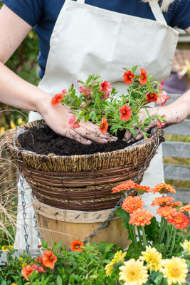Planting-a-Summer-Hanging-Basket-QHAA154-nicola-stocken.jpg