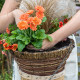Planting-a-Summer-Hanging-Basket-QHAA156-nicola-stocken.jpg thumbnail