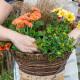Planting-a-Summer-Hanging-Basket-QHAA158-nicola-stocken.jpg thumbnail