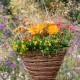 Planting-a-Summer-Hanging-Basket-QHAA163-nicola-stocken.jpg thumbnail